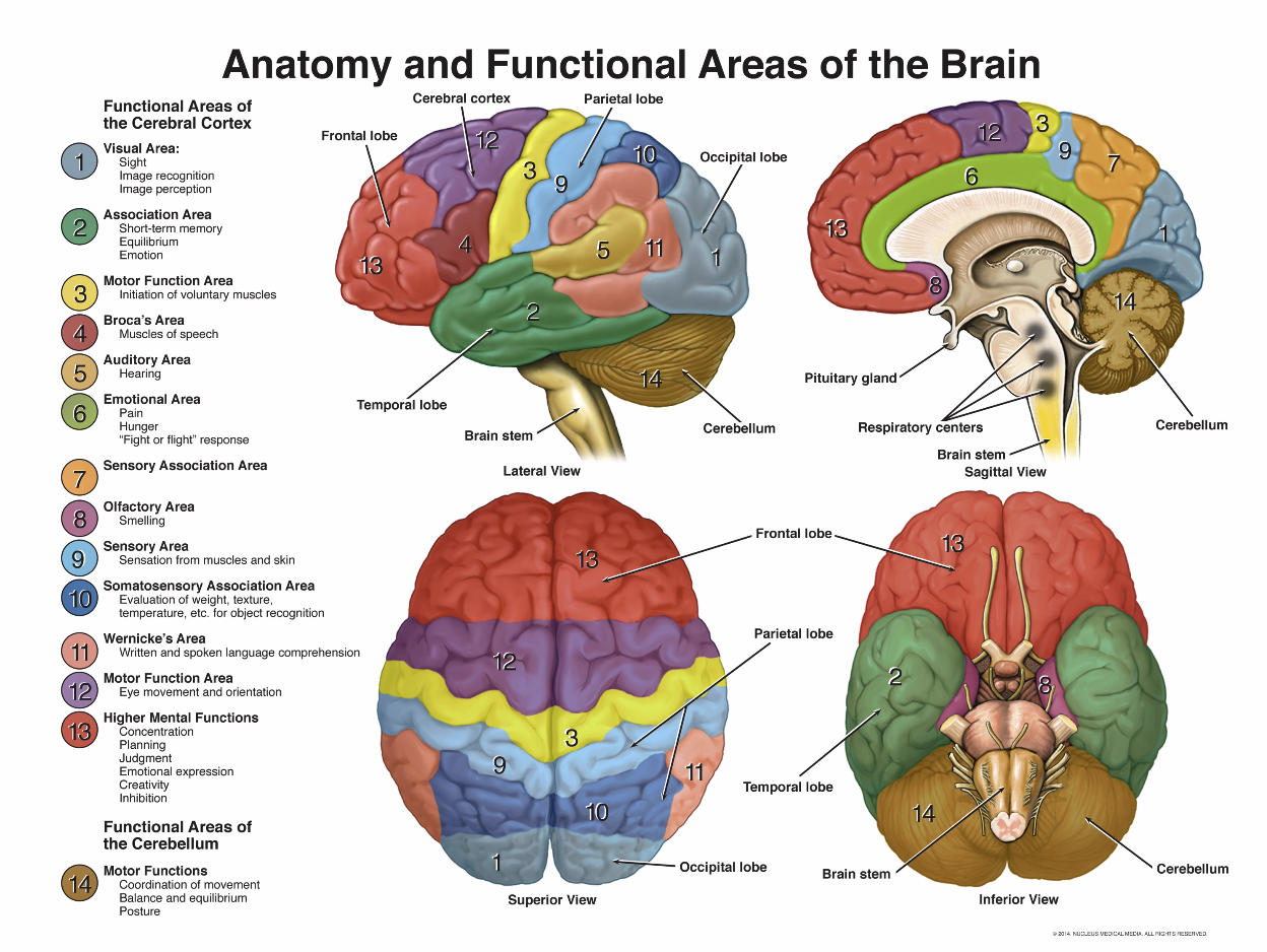 areas-of-brain